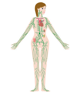 woman's lymph system anatomical chart, vector illustration