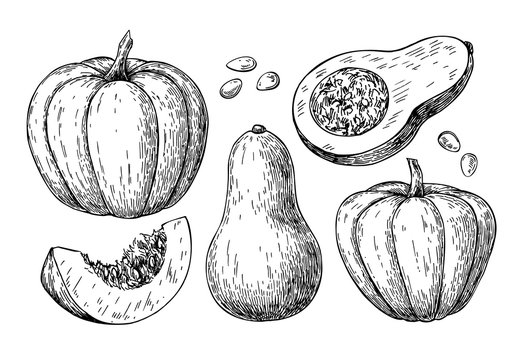 Pumpkin and butternut squash vector drawing set. Isolated hand d