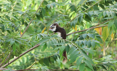 Animals in wildlife, squirrel eating fruit on the tree