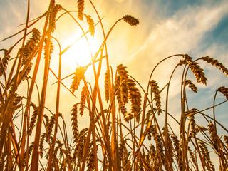 Reife Weizenähren in der Abendsonne