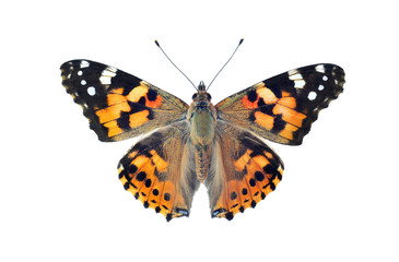 Painted lady butterfly, isolated on white