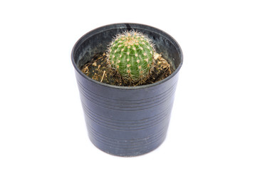 Small green cactus in a flower pot