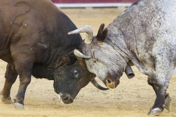 fighting bulls in a bullring in Spain