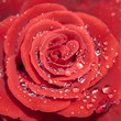 Red rose petals with rain drops closeup. Red Rose.