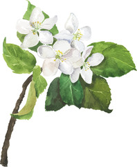 Branch of apple or pear tree with green leaves and white flowers. Hand drawn watercolor vector illustration.