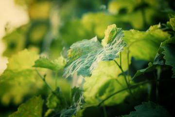Fototapete - Green grape leaves in the vineyard, summer natural background, s