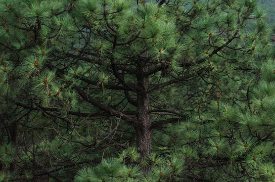 Landscape Forest Pines