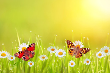 Butterflies and daisies in a lawn