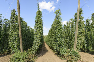 Oregon Grown Hops, Mid Willamette Valley, Polk County Oregon