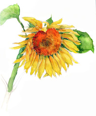 watercolor sunflower isolated