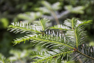 fir branch (Abies alba)