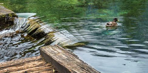 Ente in einem See.