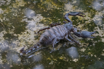 A pregnant Giant  Scorpion  in thailand
