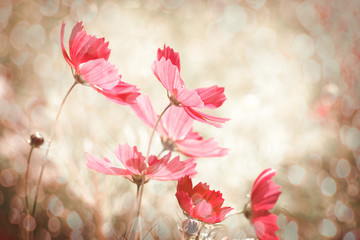 Wall Mural - Cosmos flower with light bokeh background