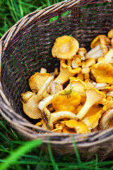 Basket of freshly harvested chanterelles mushrooms