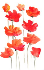 Acrylic color painting of poppy flowers on white