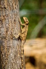 Lizard - Stellagama stellio, fauna of Israel