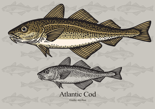 Cod fish (Atlantic cod). Vector illustration for artwork in small sizes. Suitable for graphic and packaging design, education examples and web.