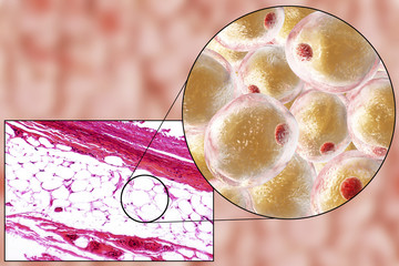 White adipose tissue (fat cells), light micrograph and 3D illustration, hematoxilin and eosin staining, magnification 100x. Fat cells (adipocytes) have large lipid droplet which remains unstained