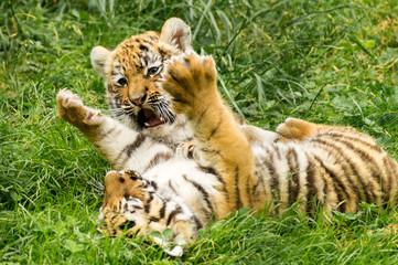 zwei kleine Amur Tigerbabys spielen zusammen