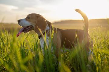 Собака породы бигль на прогулке в поле в лучах солнечного света
