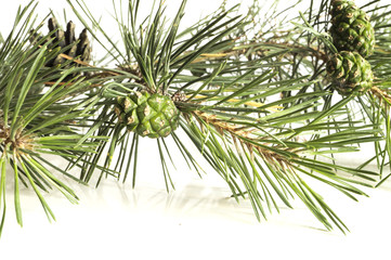 Closeup of a pine tree branch with pine cones. Isolated on white background.
