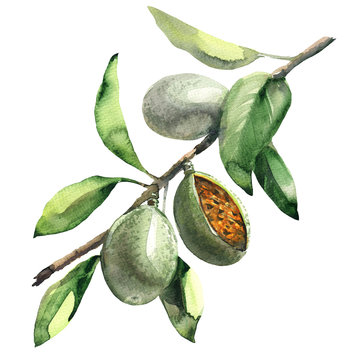 branch of almond tree with green almonds isolated, watercolor illustration