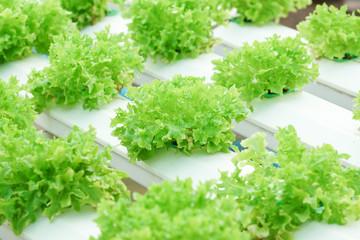 Hydroponic salad vegetable farm