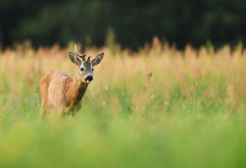male roe deer