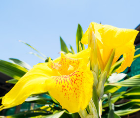 yellow Canna Lily flower with sunshine