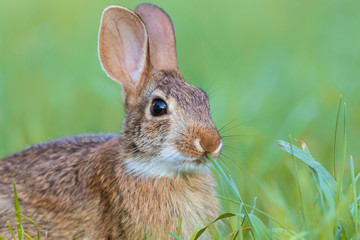 Beautiful young Eastern Cottontail rabbit, Sylvilagus Floridanus, in lush grass