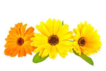 Calendula. Marigold flowers with leaves isolated on white backgr