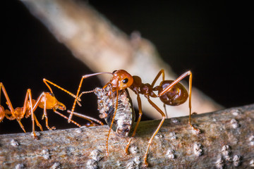 red ant carrying insect for eat