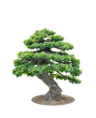 Bonsai tree elegant, isolated on white background