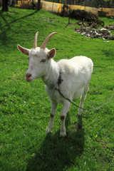 white goat in the green grass..