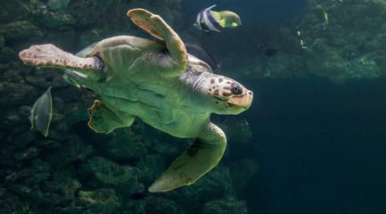 Close-up view of a Loggerhead sea turtle (Caretta caretta)