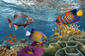 Wall Mural - Underwater scene with coral reef and fish photographed in shallo