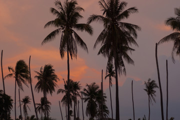 Sunlight color at sunset, Black silhouette of a coconut tree