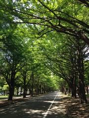 夏の銀杏並木