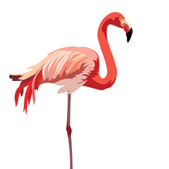 Flamingo bird isolated on white background Vector