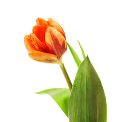 Orange Tulip Flower