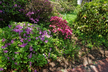 Bright purple and pink bushes of flowers in park