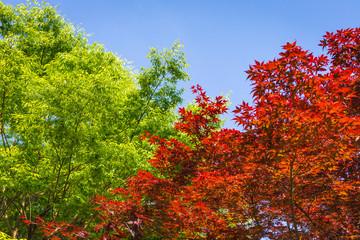 赤い楓と新緑