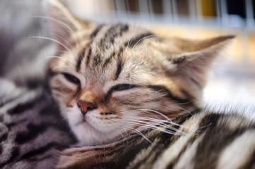 funny sleep kitten