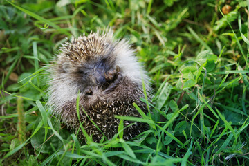 Young hedgehog curtailed into a sphere on a bright green grass in a summer sunny day