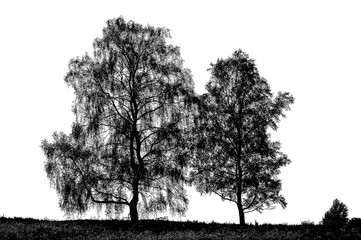 silhouette of two birch trees on white background