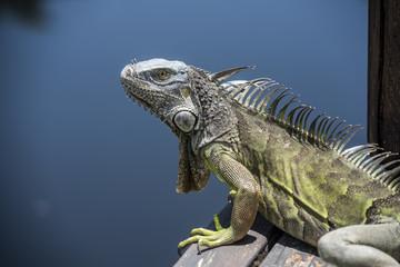 Iguana esperando en el canal