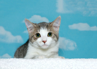 Short haired gray, white and tan striped tabby kitten with wide open pupils in green brown eyes looking anxiously straight at viewer. Blue background sky with white clouds. Copy space