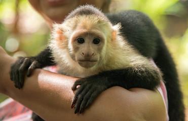 Wall Mural - Cute Capuchin Monkey