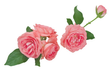 Collage of pink rose flower heads isolated on white background